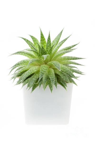 Photograph - Succulent Plant by Elena Elisseeva