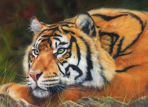Big Cat Wall Art - Painting - Sumatran Tiger  by David Stribbling