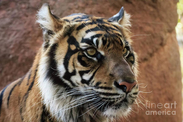 Photograph - Sumatran Tiger Portrait #1 by Richard Smith