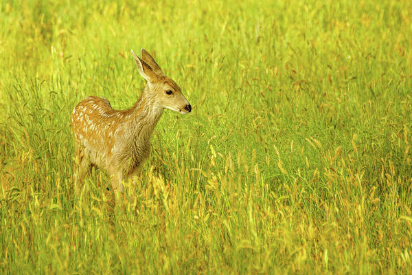 Photograph - Summer Fawn by John De Bord
