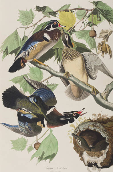 Fowl Painting - Summer Or Wood Duck by John James Audubon