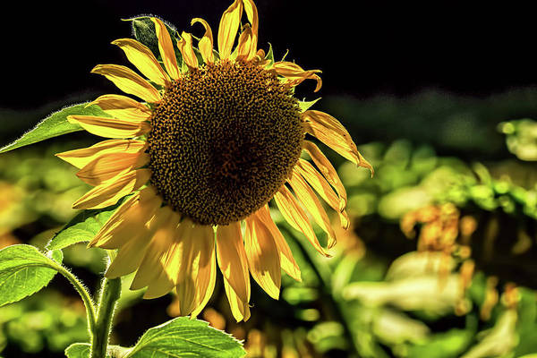Wall Art - Photograph - Sunflower 1 by Elijah Knight