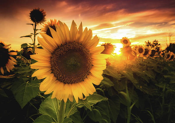 Wall Art - Photograph - Sunflower by Cale Best