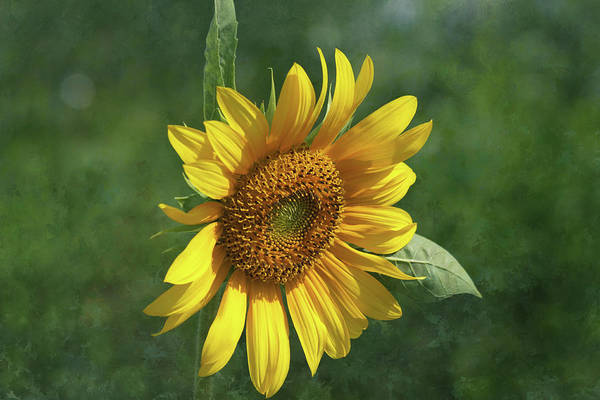 Photograph - Sunflower In The Garden by Kim Hojnacki