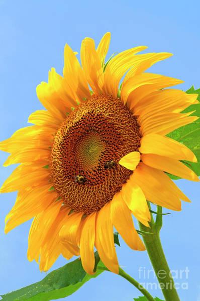 Sunflower Seeds Photograph - Sunflower Joy by Regina Geoghan