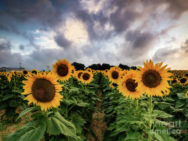 Photograph - Sunflower Patch by Alissa Beth Photography