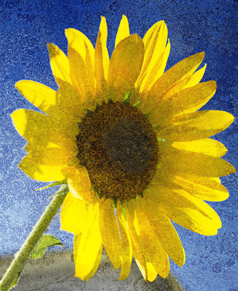 Photograph - Sunflower by Rick Mosher