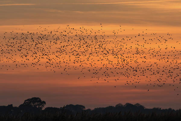Photograph - Sunset Starlings  by Wendy Cooper