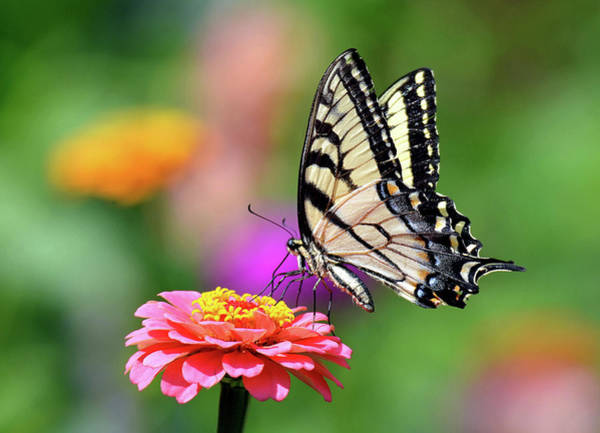 Photograph - Swallowtail On A Zinnia by Rodney Campbell