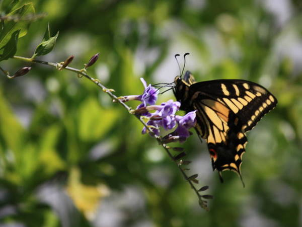 Photograph - Swallowtail With Black Framing by Carol Groenen