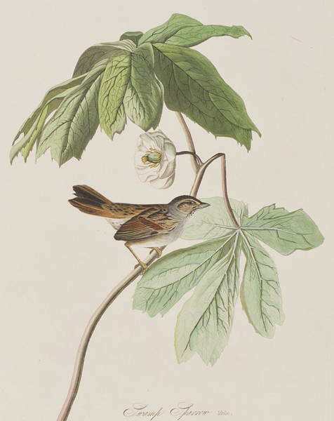 Single Leaf Wall Art - Painting - Swamp Sparrow by John James Audubon