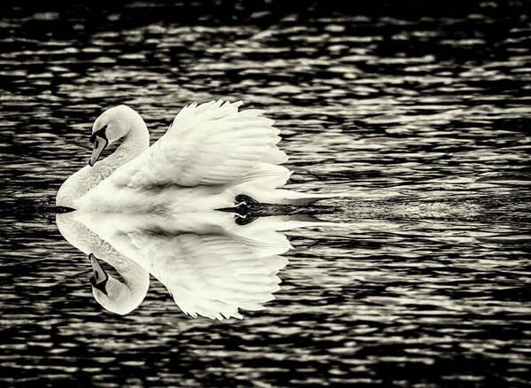 Photograph - Swan  by Cliff Norton
