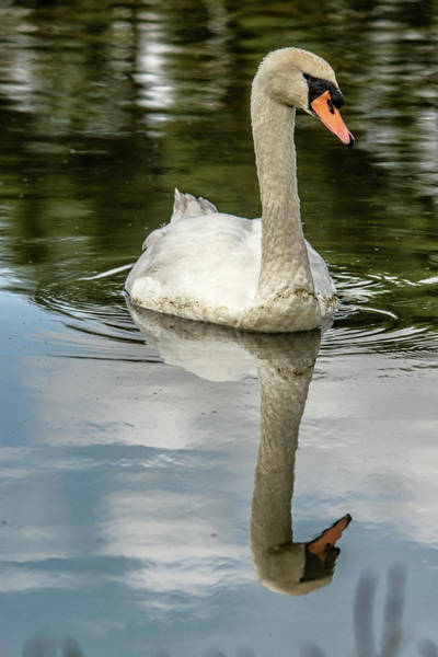 Photograph - Swan Reflection  by Cliff Norton