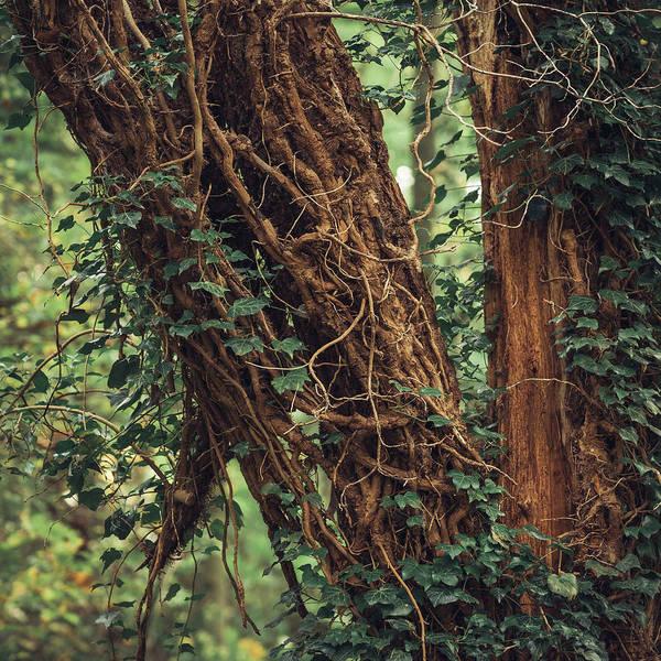 Nottinghamshire Photograph - Tendrils by Chris Dale