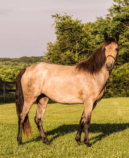 Photograph - Tennessee Walking Horse Filly by Judith Picciotto