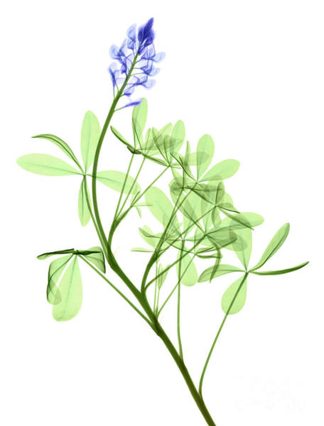 Photograph - Texas Bluebonnets, X-ray by Ted Kinsman