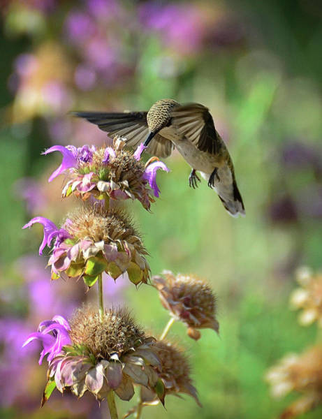 Colibri Photograph - The Beauty Of Nature  by Saija  Lehtonen