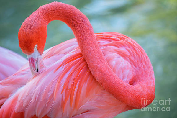 Wall Art - Photograph - The Caribbean Flamingo by Julia Hiebaum