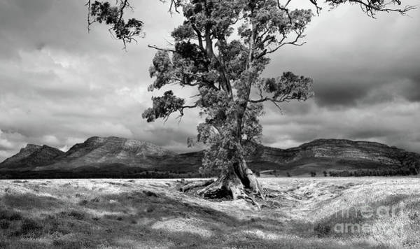 Wall Art - Photograph - The Cazneaux Tree by Bill Robinson