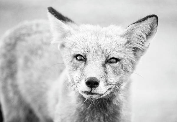 Wall Art - Photograph - The Curious Fox by Stephanie McDowell