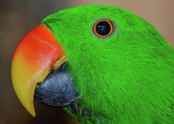 Eclectus Parrots Photograph - The Eclectus Parrot  by Kathryn Potempski