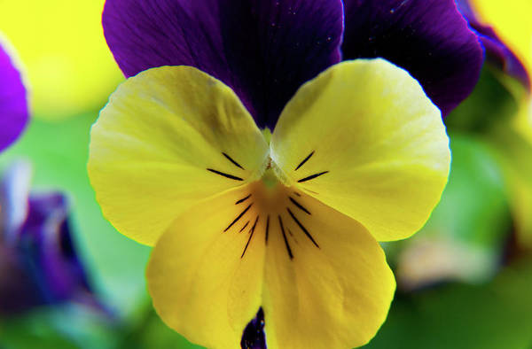 Photograph - The Face Of A Pansy by Brenda Jacobs