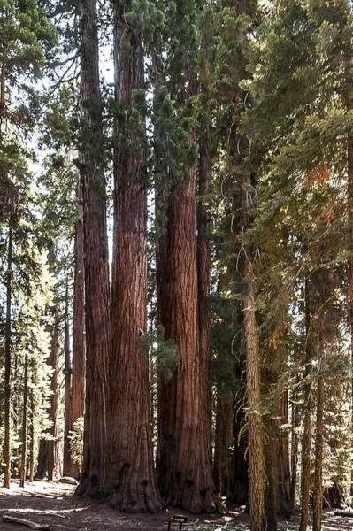 Photograph - The House Group Giant Sequoia Trees Sequoia National Park by NaturesPix