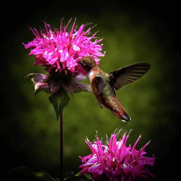 Wing Back Photograph - The Hummer by David Patterson