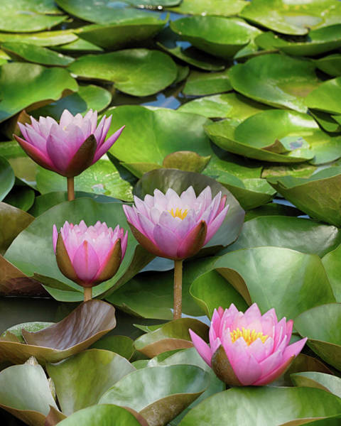 Floating Museum Photograph - The Lily Pond by Susan Rissi Tregoning