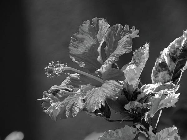 Photograph - The Mallow Hibiscus by Jenny Regan