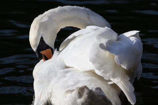 Wall Art - Photograph - The Peaceful Swan by David Pyatt