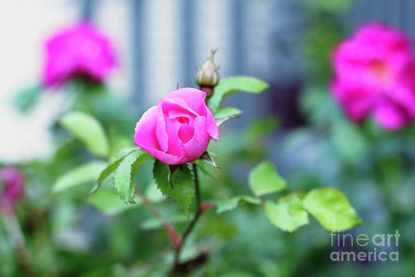 Photograph - The Pink Rose by Donna L Munro