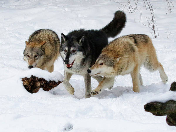 Wall Art - Photograph - The Three Bad Wolves by Steve McKinzie