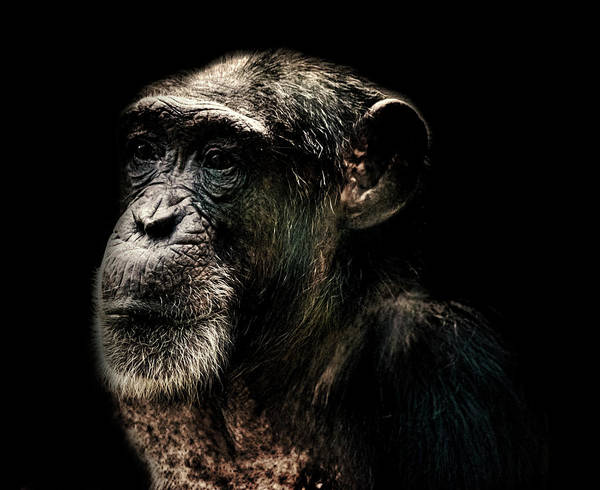Monkey Photograph - The Wise by Martin Newman