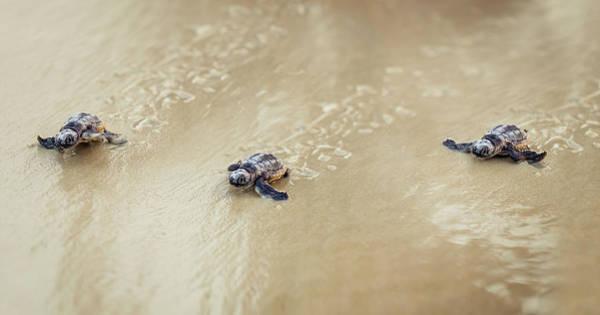 John Hancock Photograph - Three Baby Turtles by John Hancock