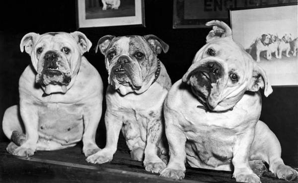 Wall Art - Photograph - Three English Bulldogs by Underwood Archives