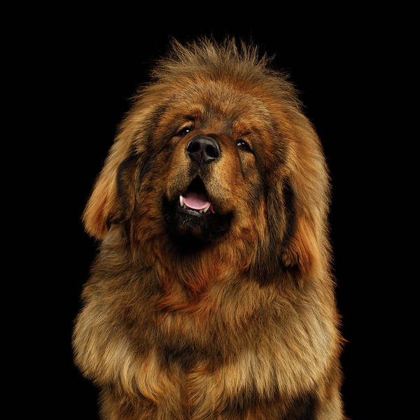 Photograph - Tibetan Mastiff by Sergey Taran