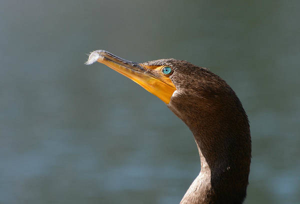 Double-crested Cormorant Photograph - Tickle Me by Fraida Gutovich