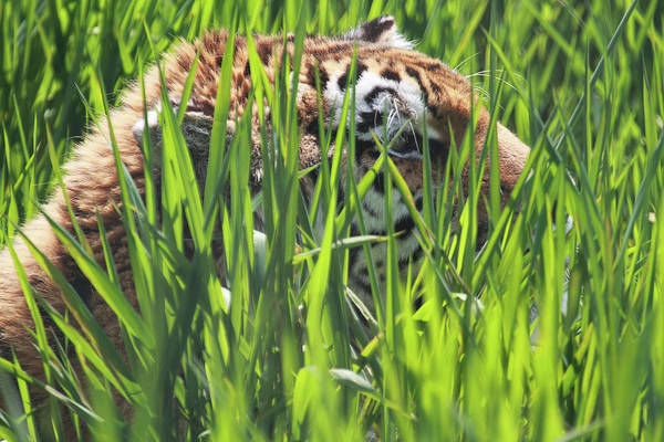 Lurking Photograph - Tiger by Naman Imagery