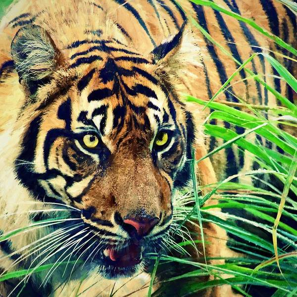 Photograph - Tiger In The Grasses by Alice Gipson