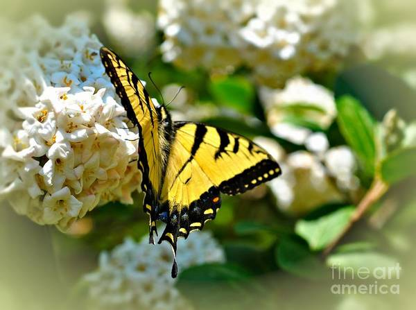 Tiger Swallowtail Art Print by Elaine Manley