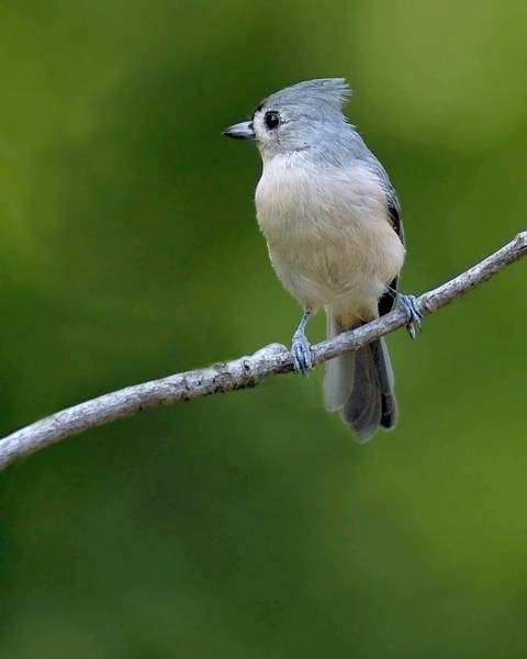 Photograph - Titmouse by David Waldrop
