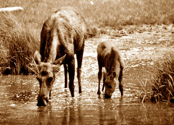 Moose Art Photograph - Together by David Lee Thompson