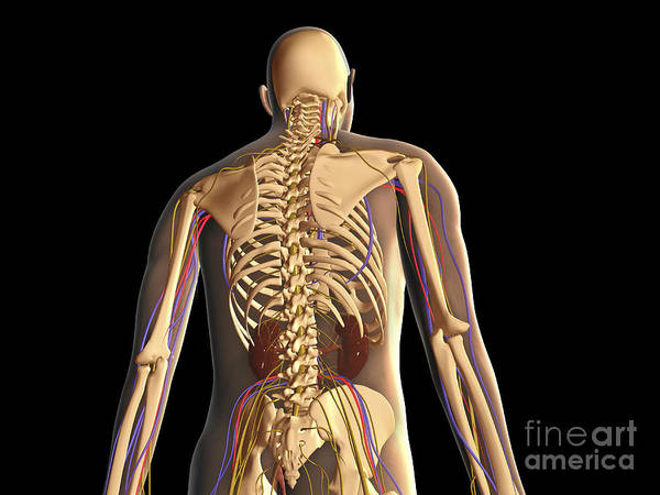 Lumbar Plexus Digital Art - Transparent View Of Human Body Showing by Stocktrek Images