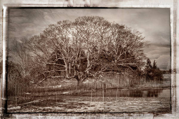Photograph - Tree In Marsh by Frank Winters