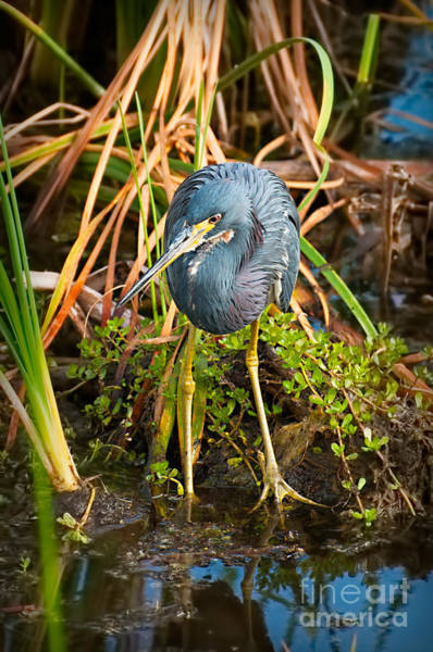 Photograph - Tricolor Heron Repose by Photos By Cassandra