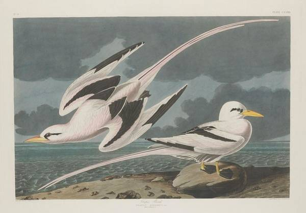 Tropical Drawing - Tropic Bird by Dreyer Wildlife Print Collections