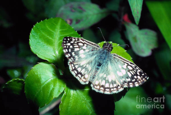 Photograph - Tropical Checkered Skipper by Thomas R Fletcher