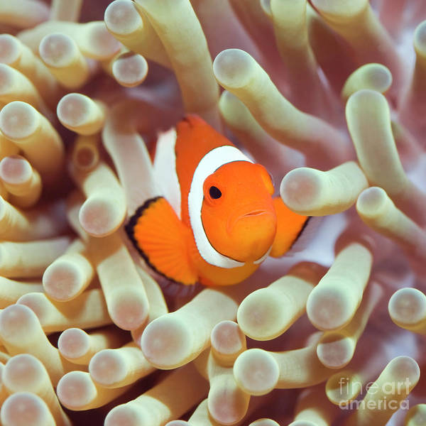 Clownfish Photograph - Tropical Fish Clownfish by MotHaiBaPhoto Prints