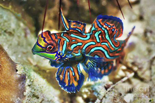 Scuba Diving Photograph - Tropical Fish Mandarinfish by MotHaiBaPhoto Prints
